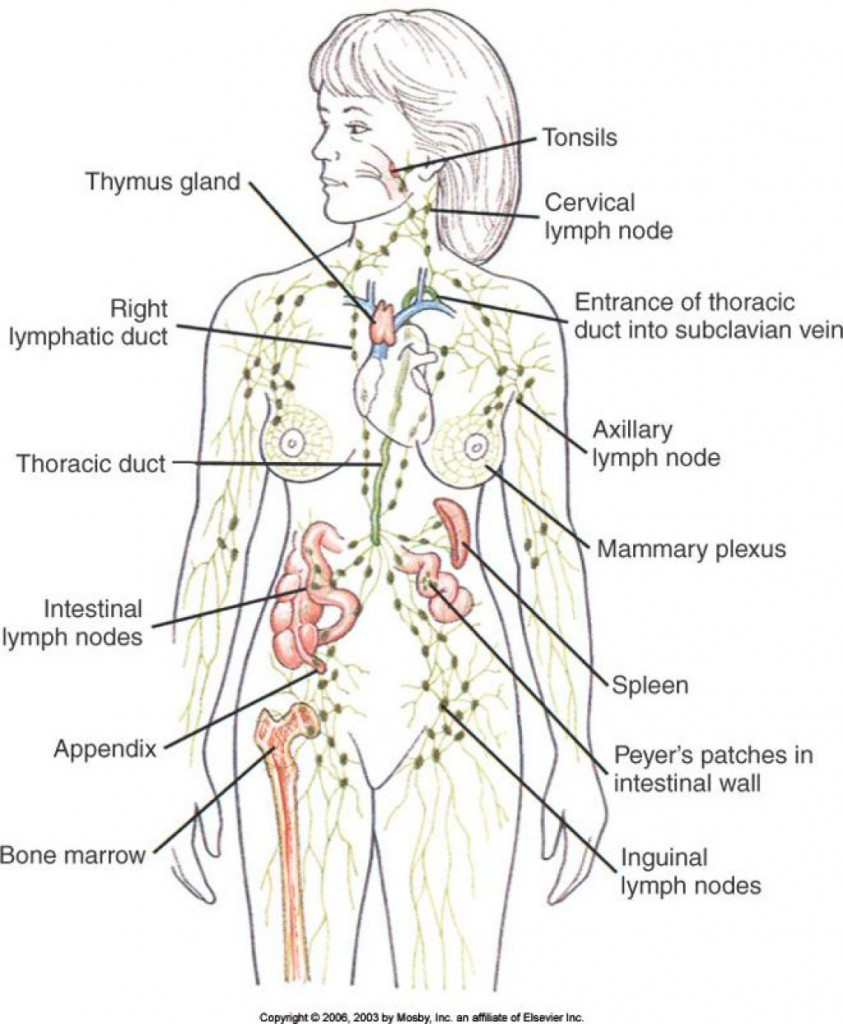 Lymph System Health