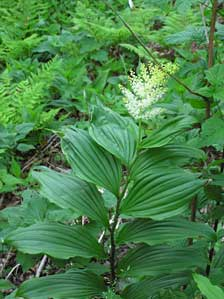 false solomon's seal